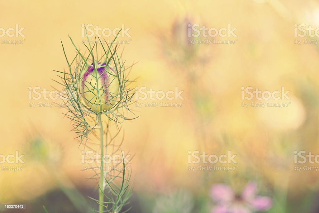 Seed capsule royalty-free stock photo