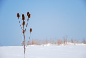 Dry flower plant with seed capsules in a wintry landscape