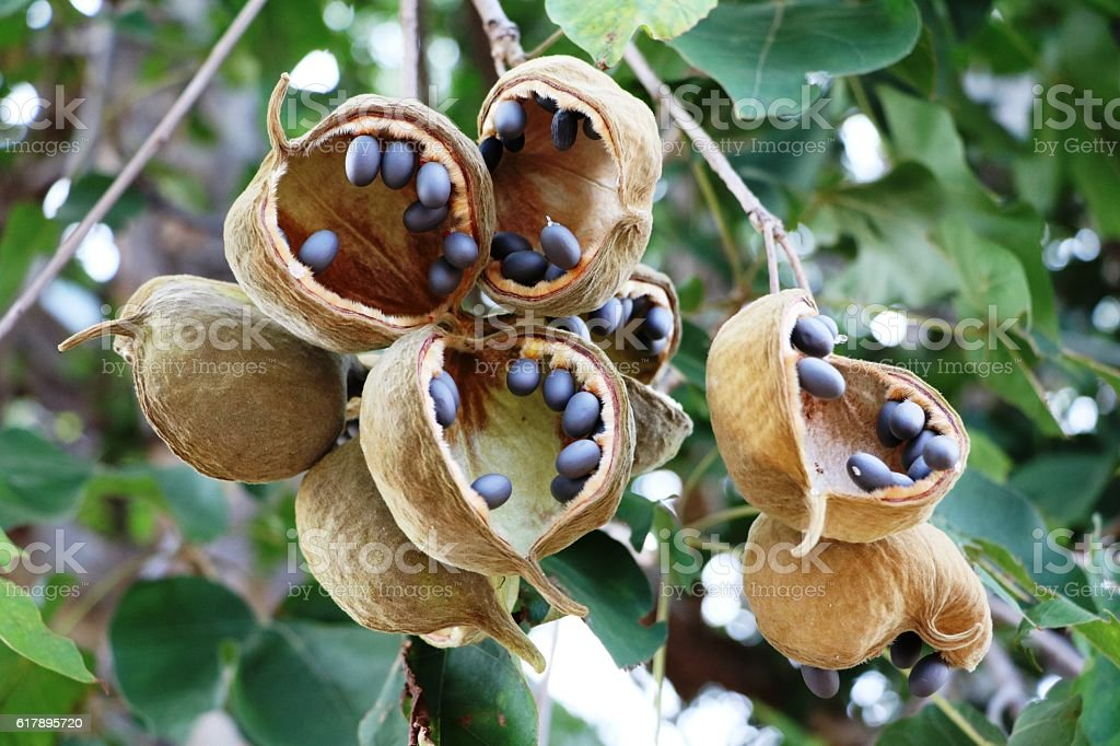 Seed capsules of the Baobab, Botswana Africa - foto de stock
