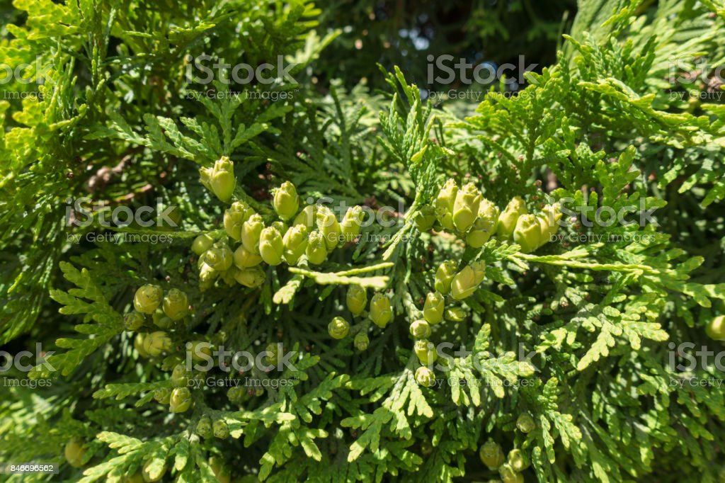 Seed cones on branches of eastern arborvitae stock photo