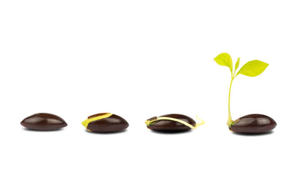 seed germination process isolate on white background.of planting tree. Seedling gardening plant. Seeds sprout in ground. Sprout, plant, tree stock photo