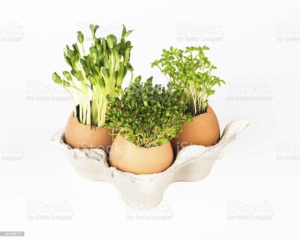 Seed growing in egshell stock photo
