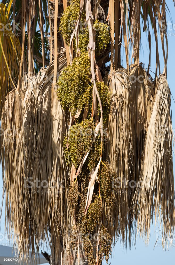 Seed head of Bangalow palm, Archontophoenix cunninghamiana stock photo