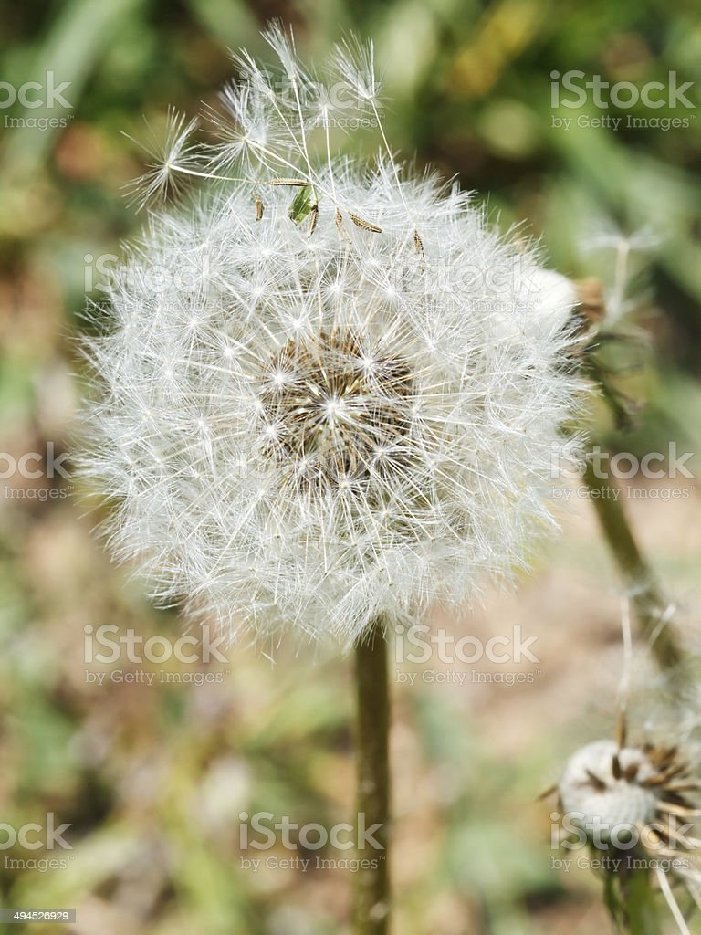 seed head of taraxacum blowball royalty-free stock photo