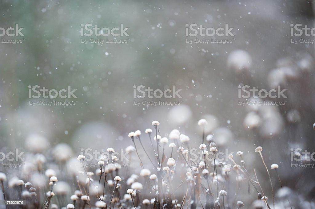 Seed heads in snowfall stock photo