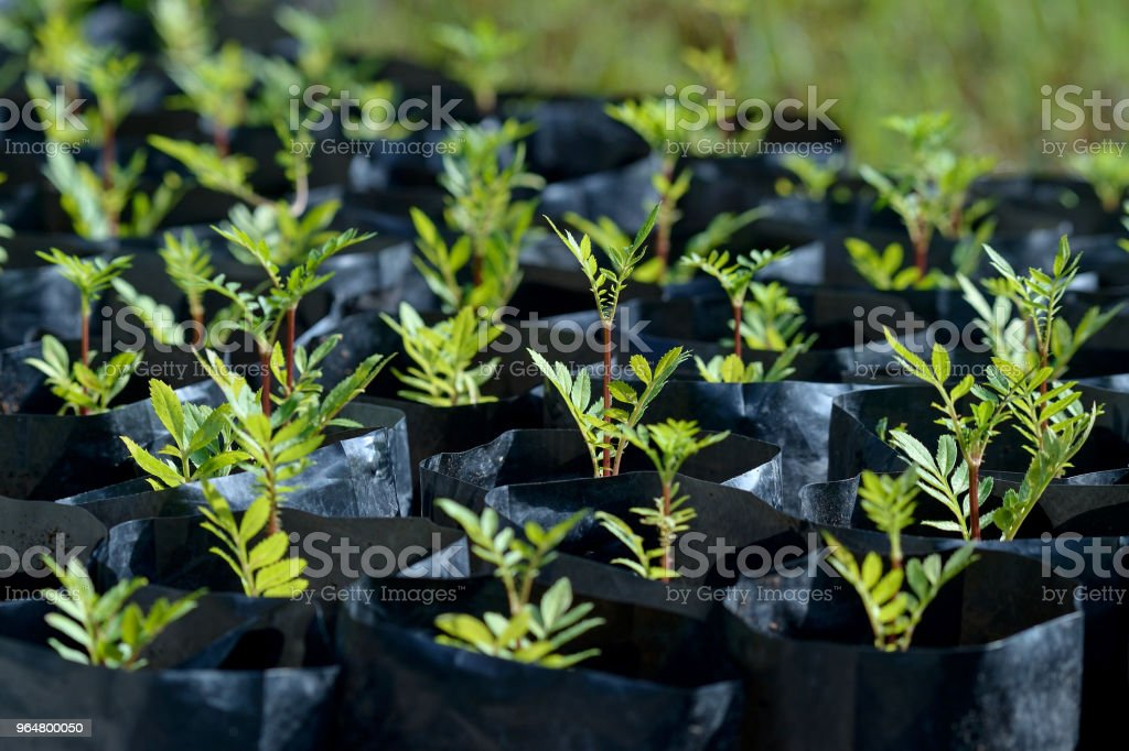 seed in pot royalty-free stock photo