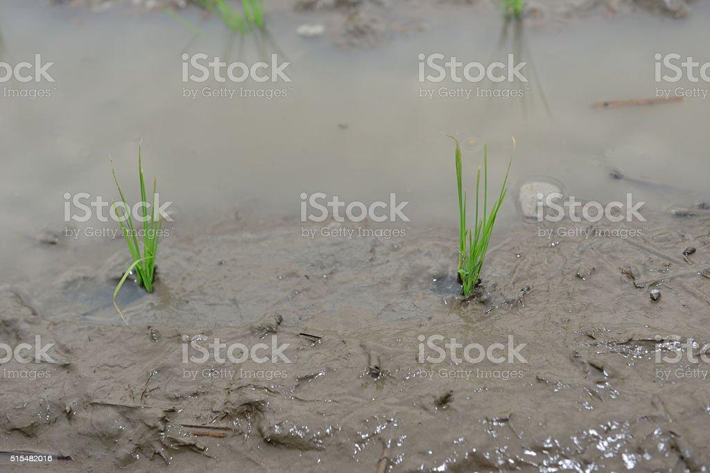 Seed paddy fields stock photo