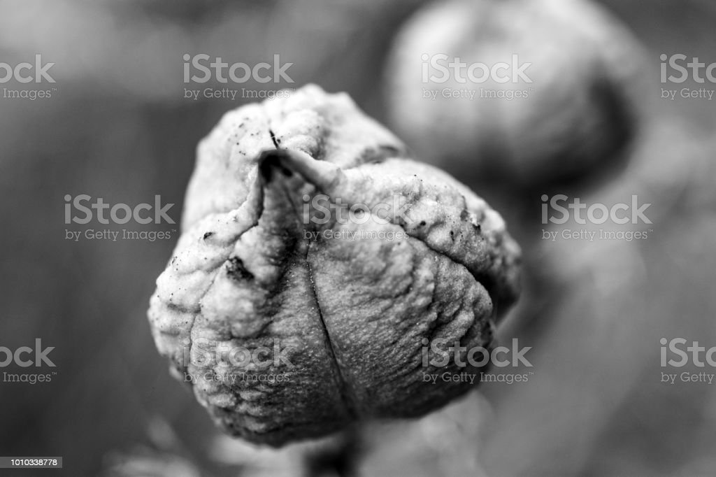 Seed pod black and white stock photo