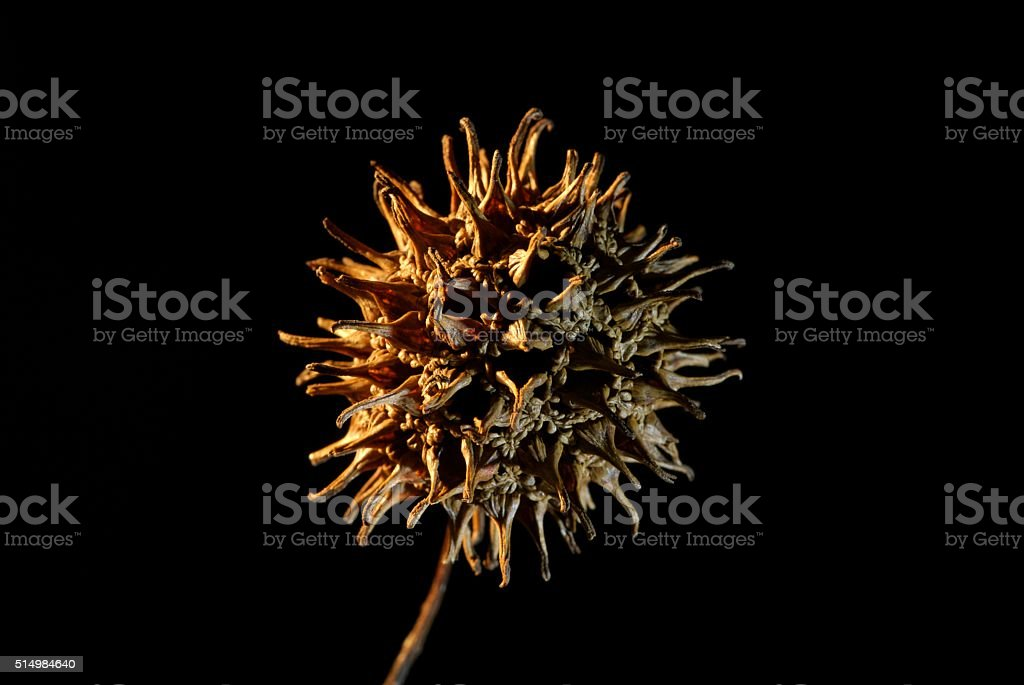 Seed pods are so varied and so cool. stock photo