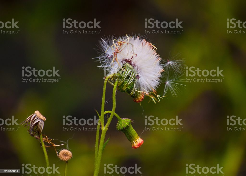 Seed Pods Away stock photo