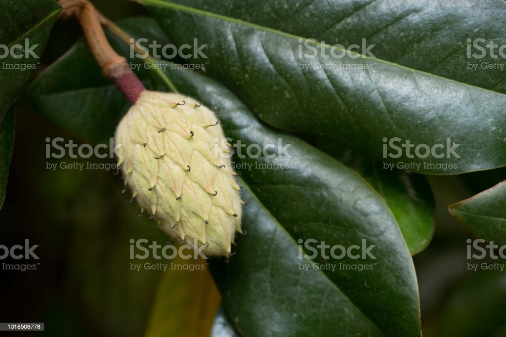 Seed Pods Of The Magnolia Tree Stock Photo More Pictures Of