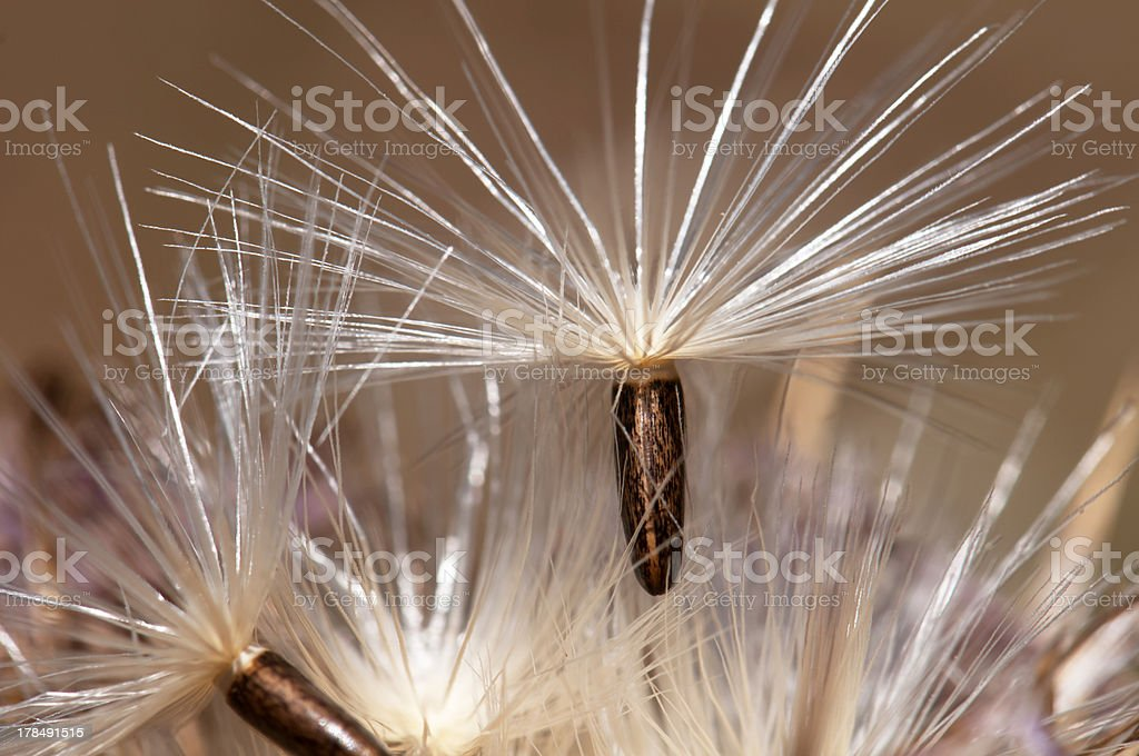 Seed Ready to Disperse royalty-free stock photo
