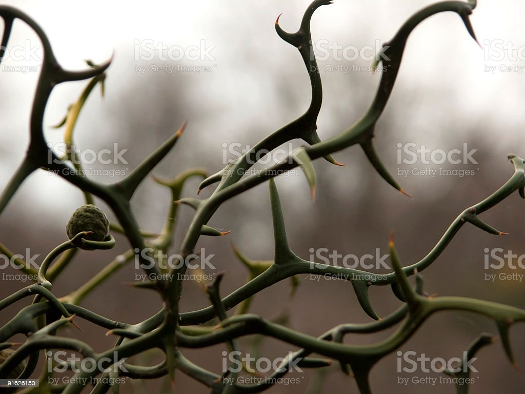 Seed & Thorns royalty-free stock photo