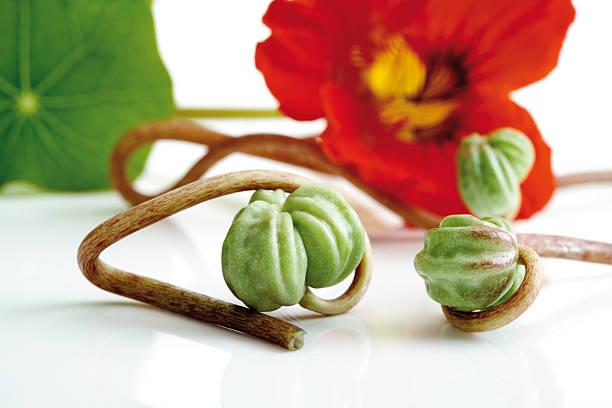seed vessels of nasturtium (tropaeolum majus), close-up - nasturtium stock photos and pictures