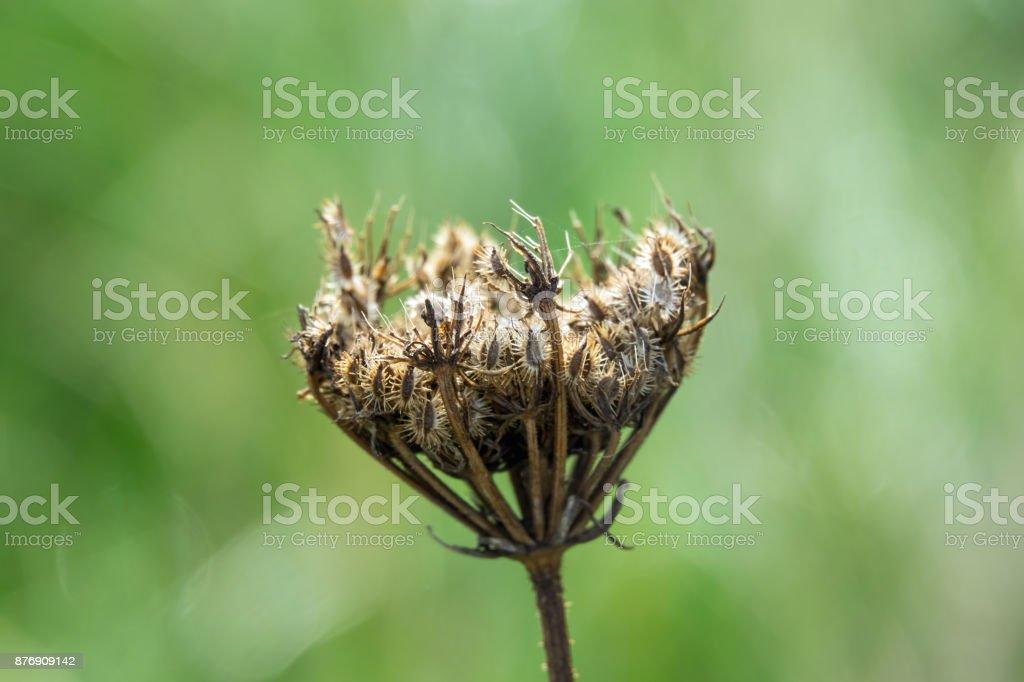 Seedhead of umbelliferous wild flower. stock photo