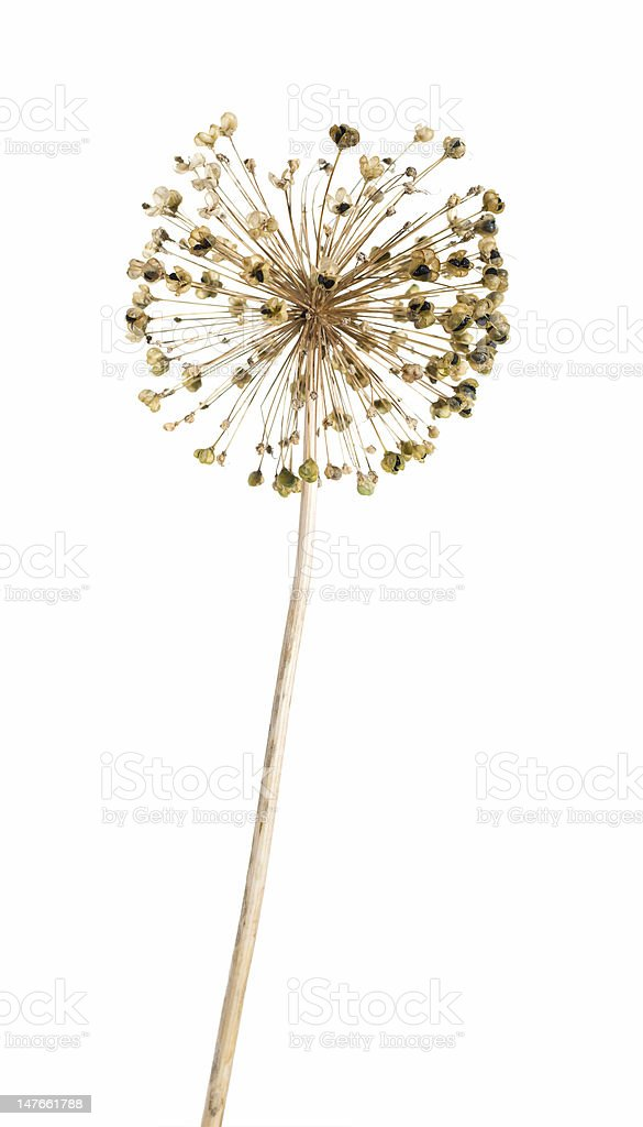 seedhread of allium, isolated royalty-free stock photo