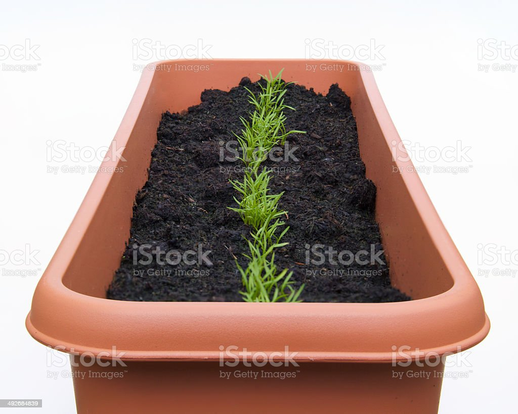 seeding carrots row in pot stock photo