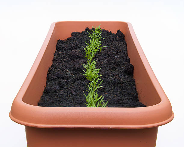 seeding carrots row in pot stock photo
