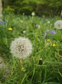 Close up picture of seeding dandelion, surrounded by bright green foliage, featuring buttercups and bluebells blurred in the background