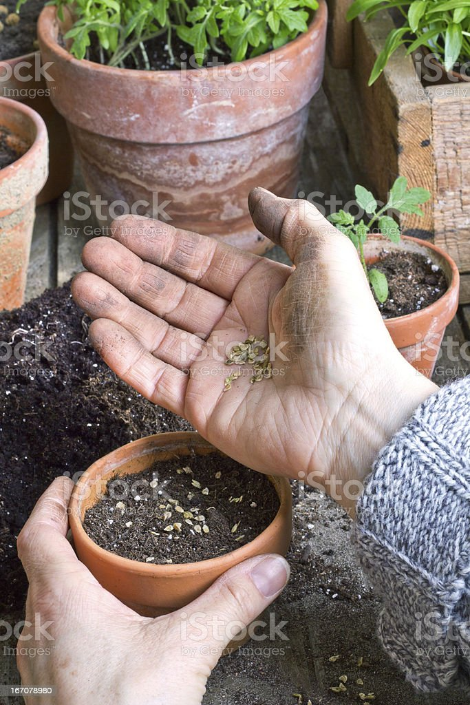 seeding royalty-free stock photo