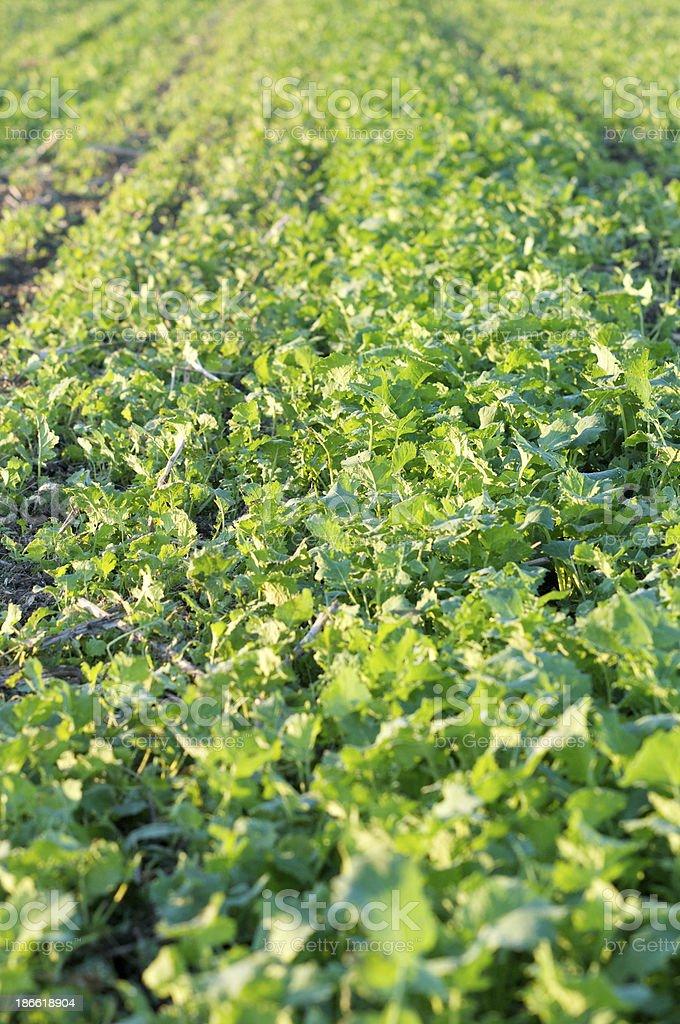 Seeding row in detail royalty-free stock photo