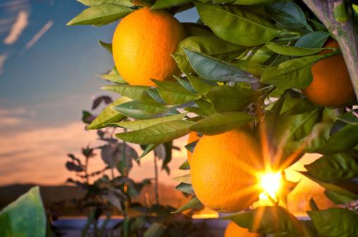Seedless Valencia Oranges