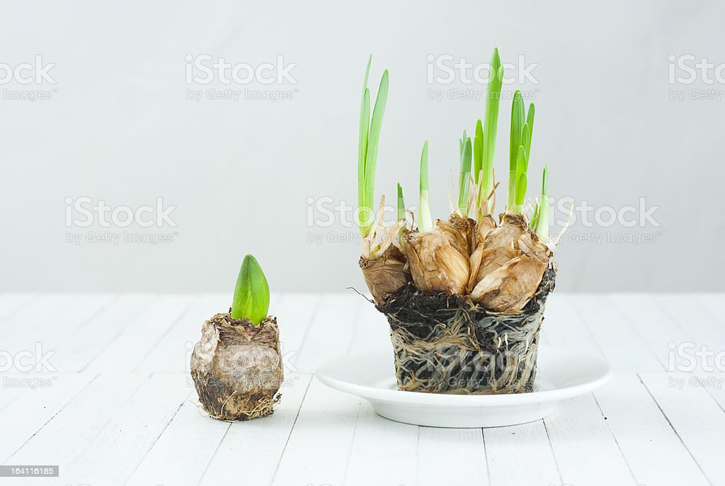 Seedling bulbs royalty-free stock photo