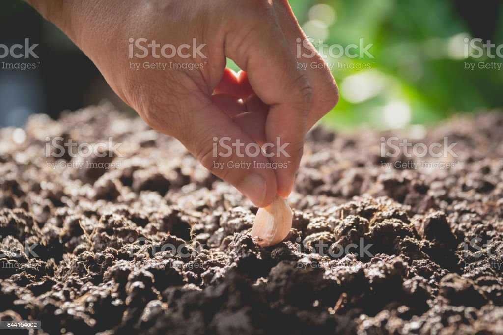 Seedling concept by human hand, Human seeding seed in soil with plant. stock photo