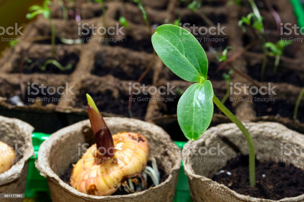 seedling of a dicot plant and germinating bulb of a gladiolus in a peat pots on a windowsill stock photo