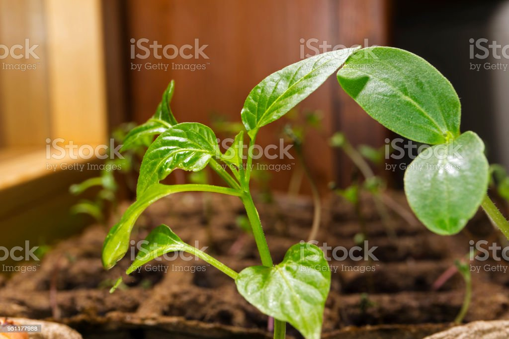 seedling of a dicot plant and young paprika bush in a peat pots on a windowsill stock photo