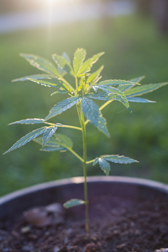 697232290 istock photo seedling of cannabis, Cannabis leaves of a plant on the Sunset background medicinal agricultur. 1127316503