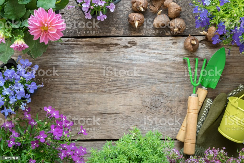Seedling of garden plants and flowers. Garden equipment: watering can, shovel, rake. Top view. Copy space for text. royalty-free stock photo