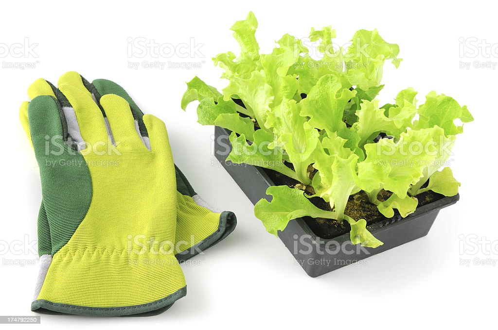 Seedling of Lollo Bionda Lettuce Salat with garden glove royalty-free stock photo