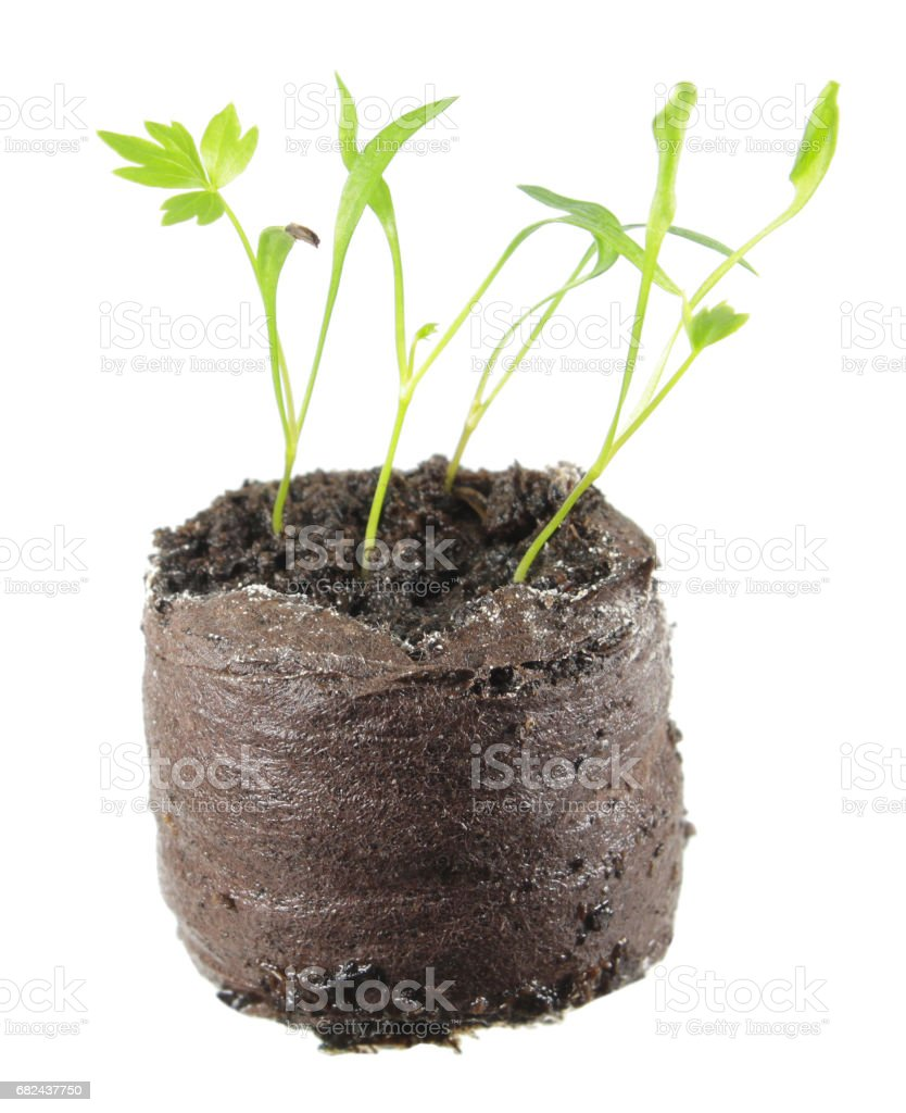 Seedling of lovage (Levisticum officinale) in clod of soil isolated on white background royalty-free stock photo