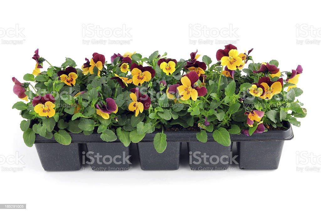 Jeune Pousse De Violet Orange Pensee Viola Fleurs En Pot Photos Et