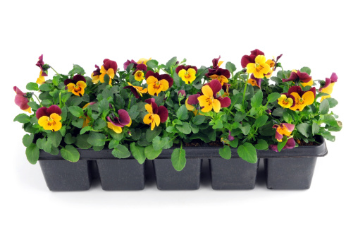 two boxes of purple orange purple pansy violoa flower seedling in flower pot on isolated white backgroundSee also my other images
