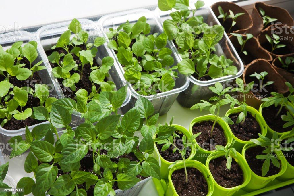 Seedling of vegetables stock photo