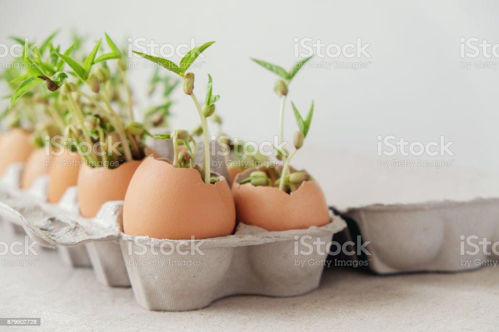seedling plants in eggshells, eco gardening,  montessori, education, reuse concept stock photo