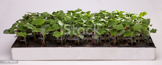 Seedling In Greenhouse, Agriculture, Cultivation, Production, Nutrition