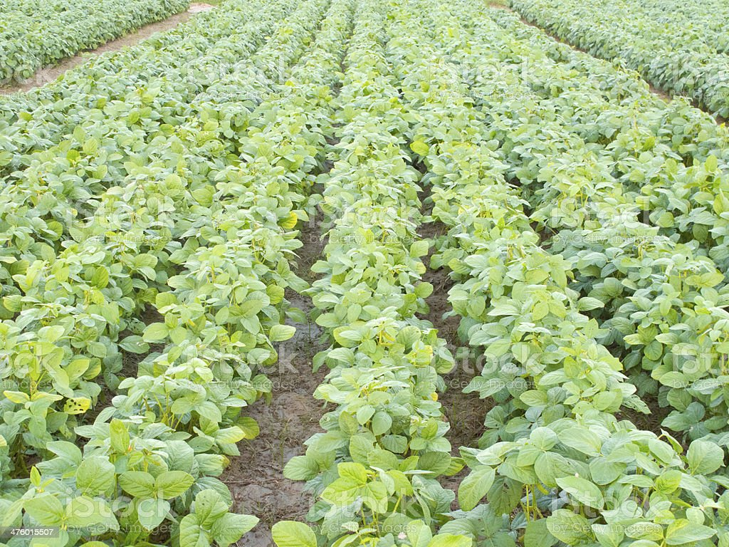 Seedling soybean field in farmland stock photo