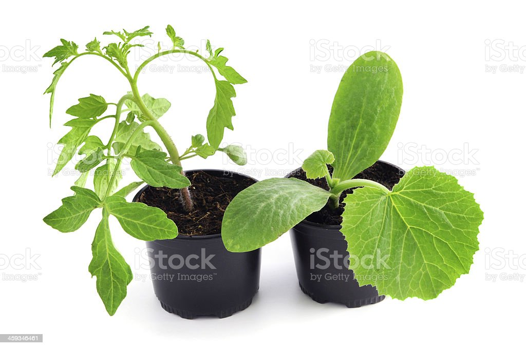 seedling tomato and zuccini plants stock photo