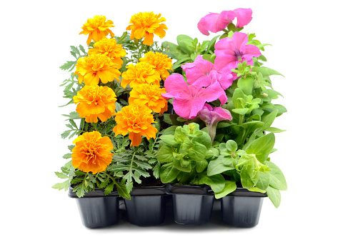 Seedling tray of petunia and marigold flowers on white background