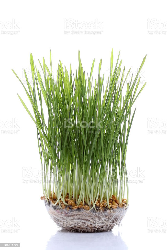Seedling wheat isolated on white stock photo