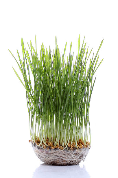 Seedling wheat isolated on white stock photo