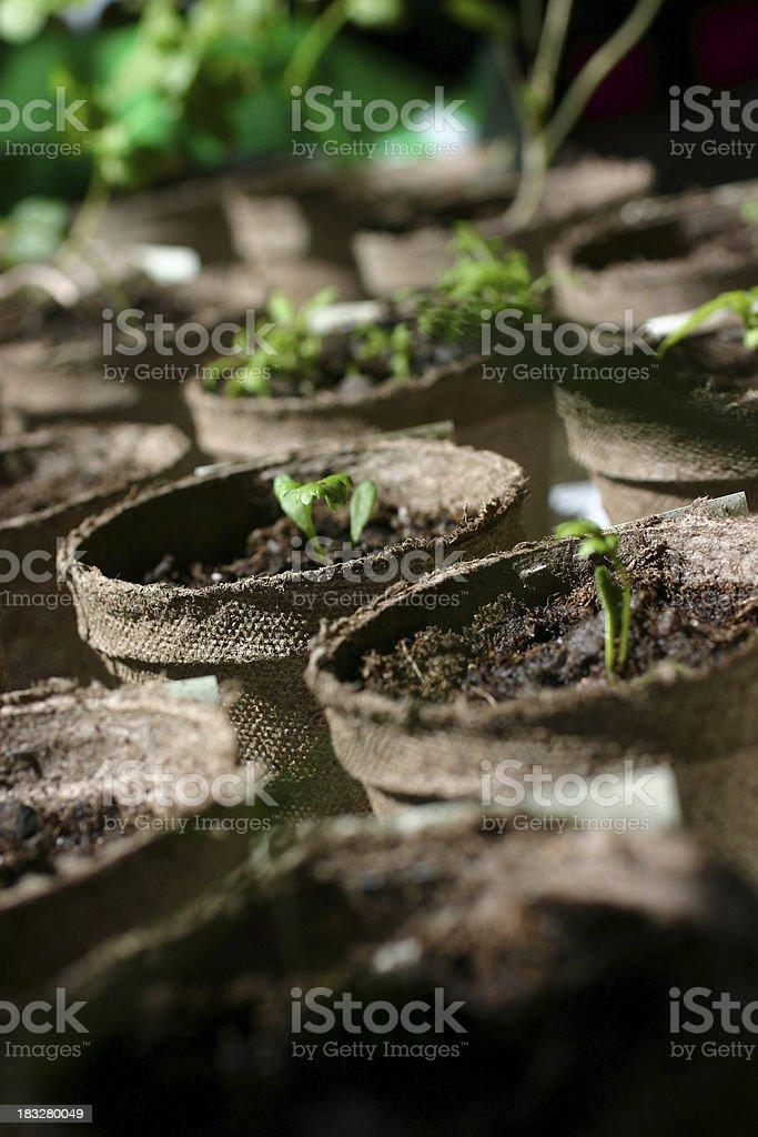 seedlings 4 royalty-free stock photo