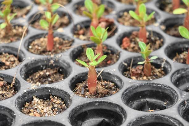 adenium de semis en pots printemps germination - rose des sables photos et images de collection