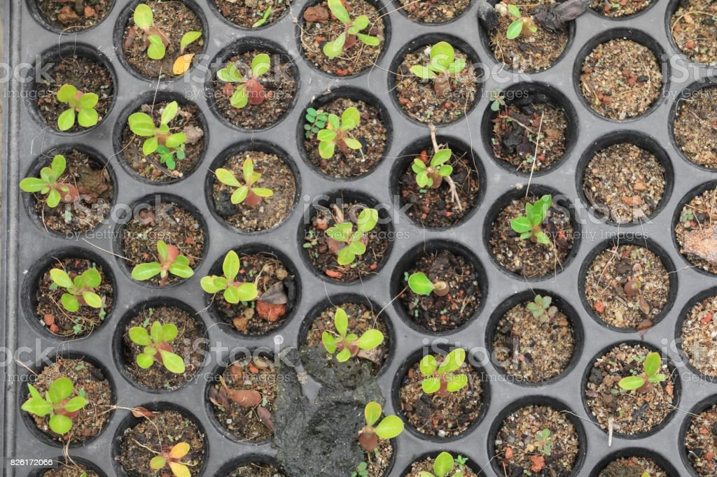 Seedlings adenium in pots Spring  sprouting stock photo
