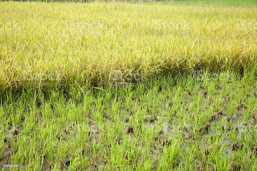 seedlings and rice stock photo