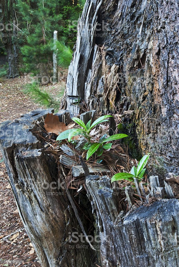 Seedlings growing from cleft in tree trunk royalty-free stock photo
