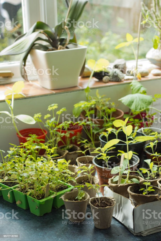 seedlings growing in a domestic house stock photo more pictures of